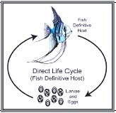 Nematode Direct Life Cycle