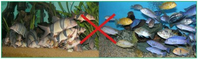 "For use with the Article ""Why Loaches Should Not Be Kept With Malawi Cichlids"""