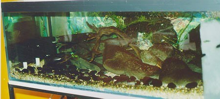 First ever River-Tank setup in England -1998/9