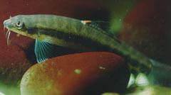 Nemacheilus masyai