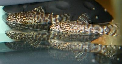 Sewellia fry6