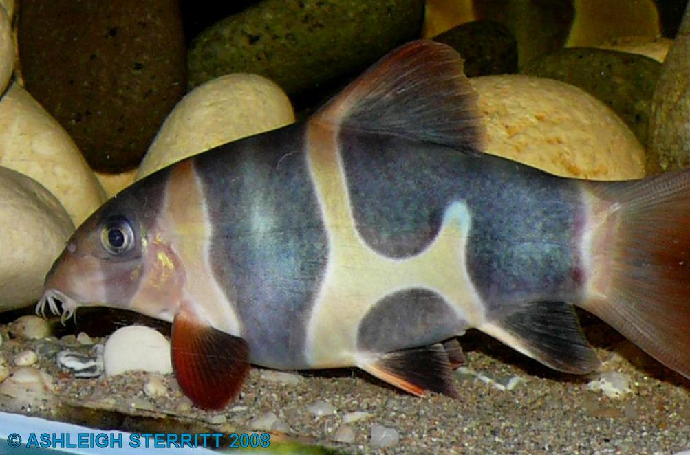 New blog 1 clown loach for Clown loach fish