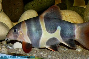 Clown loach with unusual amount of black markings