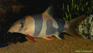Clown Loach with unusual 'Blotchy' pigmentation