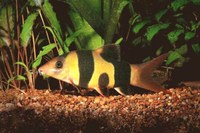 Clown Loach with belly spot