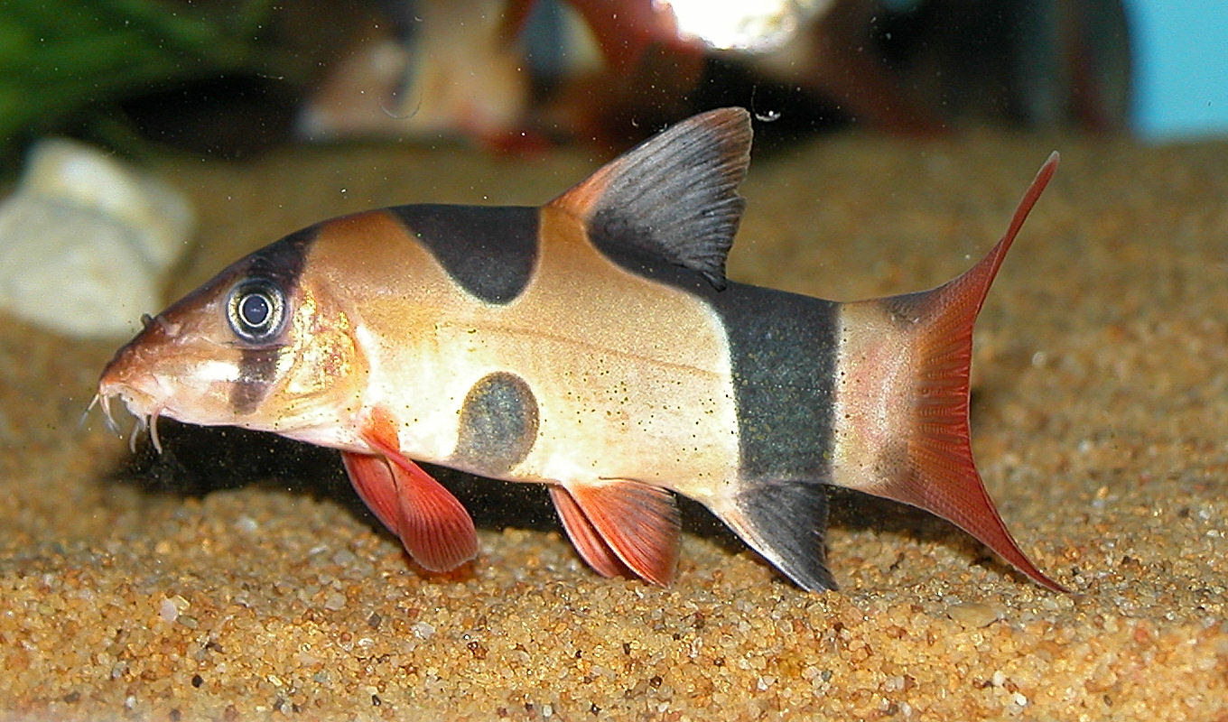Clown Loach Coloration & Marking Variations ? Loaches Online