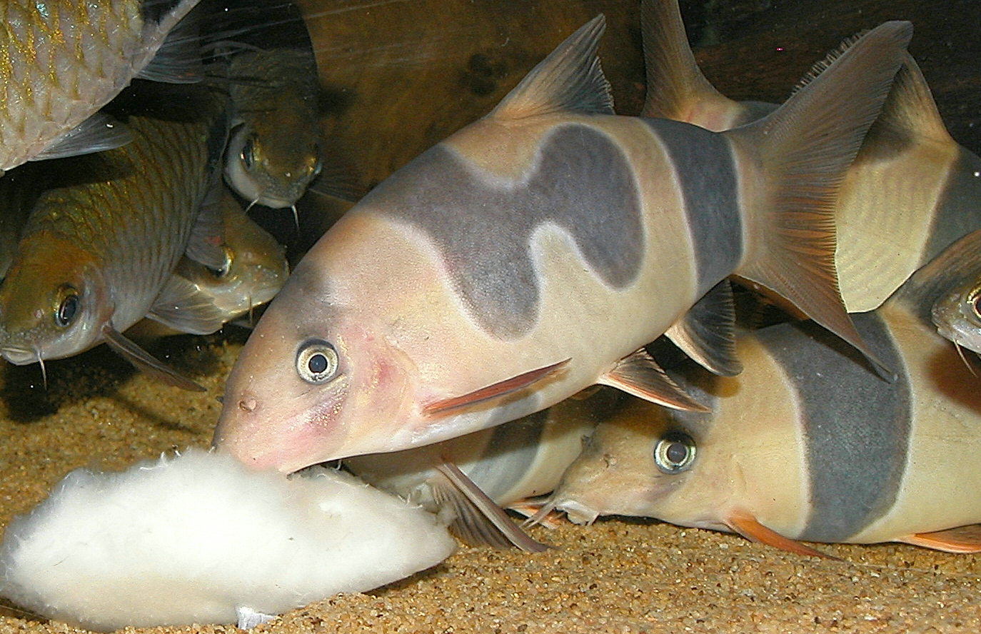 Loach Fish Photos of clown loaches with