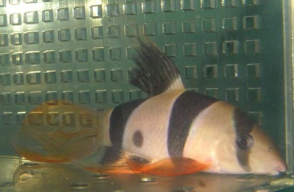 Long-finned Clown Loach