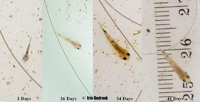 Sewellia fry