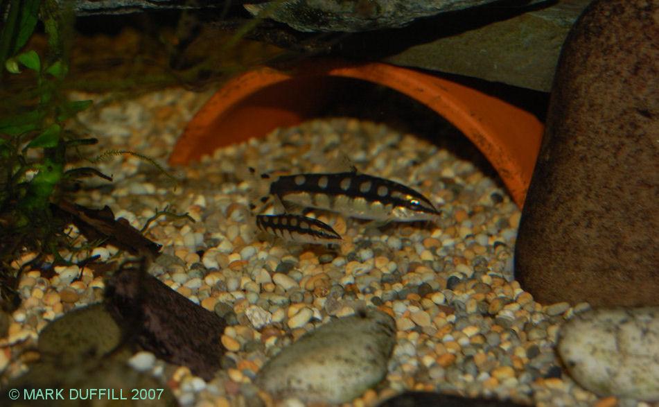 Yasuhikotakia sidthimunki - adult & tank-bred juvenile