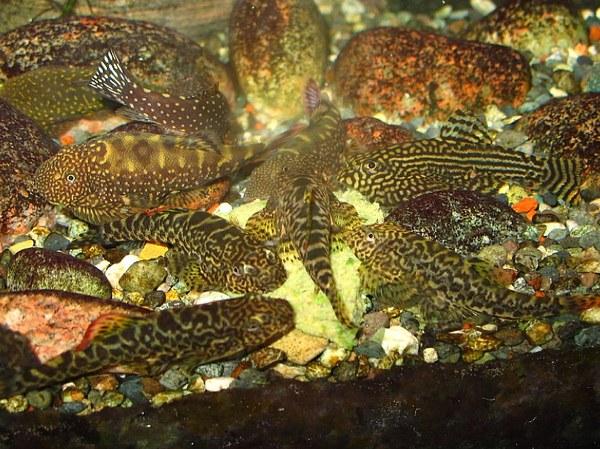 Multiple Hillstream species feeding