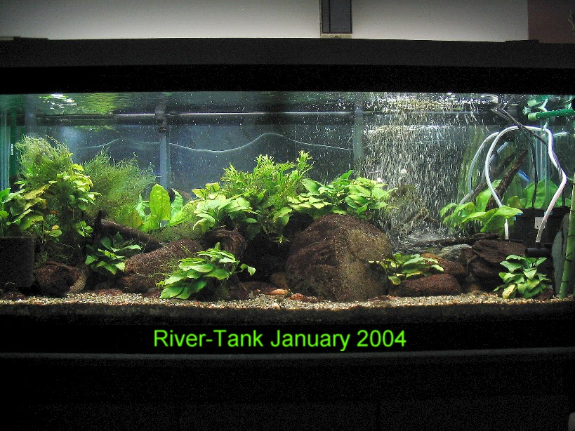 Hillstream loaches the specialists at life in the fast for Freshwater fish tank setup