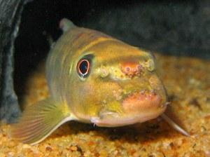 Maidenhead Aquatics - Garra fuliginosa closeup