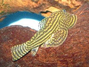 Maidenhead Aquatics - Sewellia lineolata
