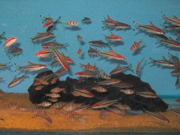 Maidenhead Aquatics - Puntius dennisoni & Puntius pentazona