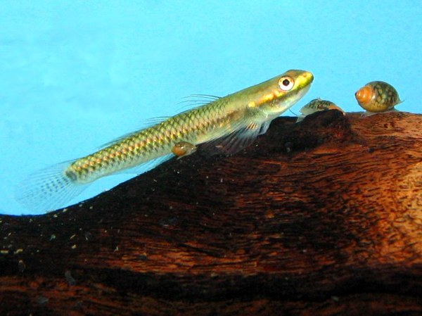 Maidenhead Aquatics - Stiphodon goby sp.