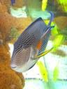 Maidenhead Aquatics - Acanthurus sohal