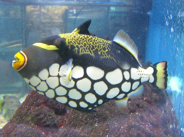 Maidenhead Aquatics - Balistoides niger