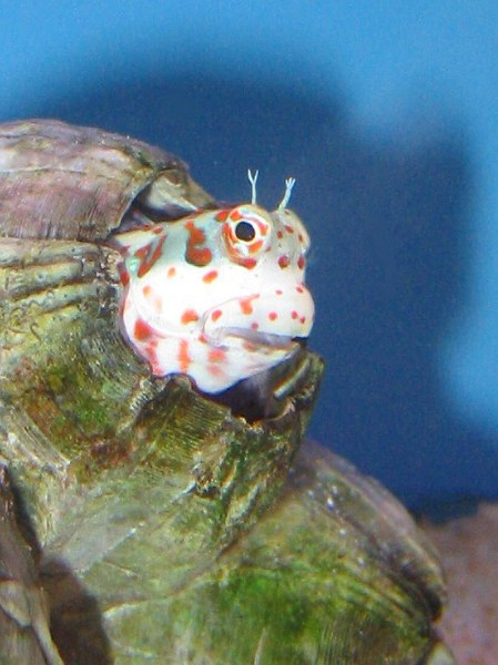 Maidenhead Aquatics - Blenny