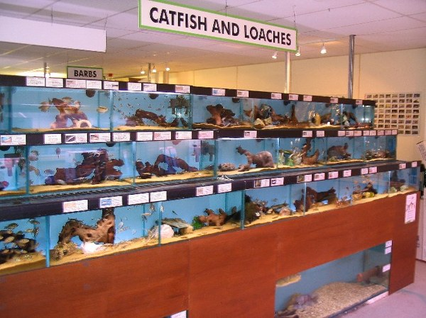 Maidenhead Aquatics - Catfish & Loach Section.