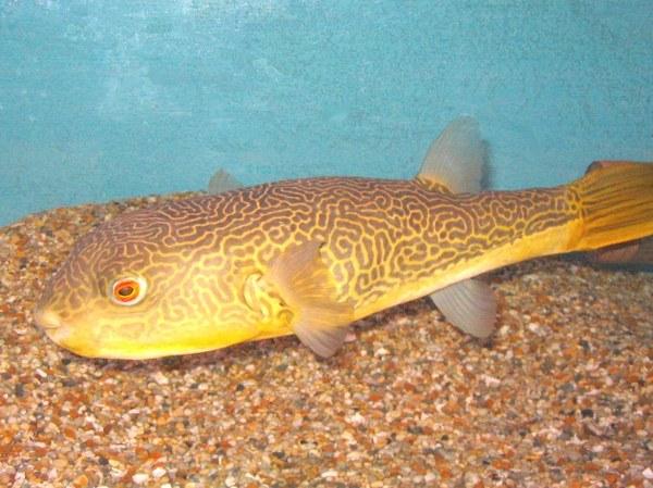 Maidenhead Aquatics - Tetraodon mbu