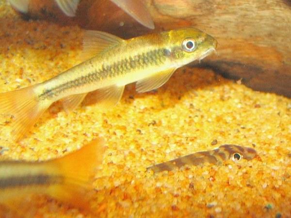 Maidenhead Aquatics - Garra ceylonensis