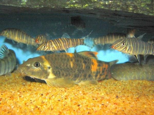 Maidenhead Aquatics - Garra flavatra & Botia striata