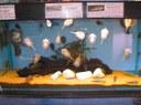 Maidenhead Aquatics - Sewellia lineolata tank