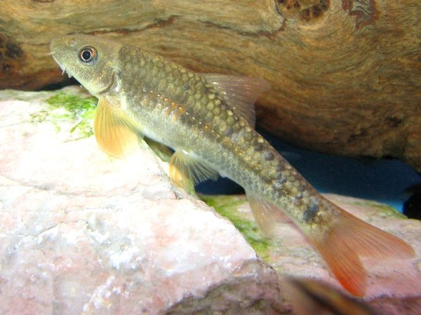 Maidenhead Aquatics - Garra species