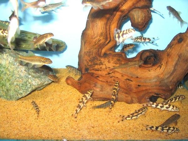 Maidenhead Aquatics - Garra ceylonensis & Botia kubotai