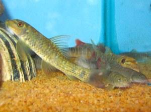 Maidenhead Aquatics - Garra fuliginosa & Schistura sp.