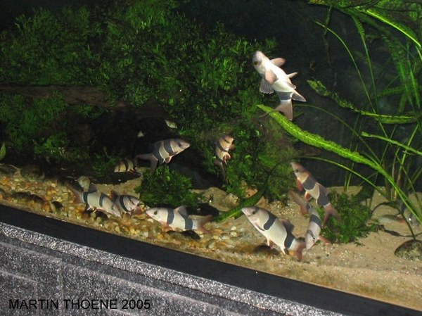 Happy Clowns loach-dancing.