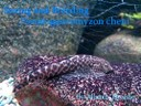 Sexing and Breeding Pseudogastromyzon cheni - article header
