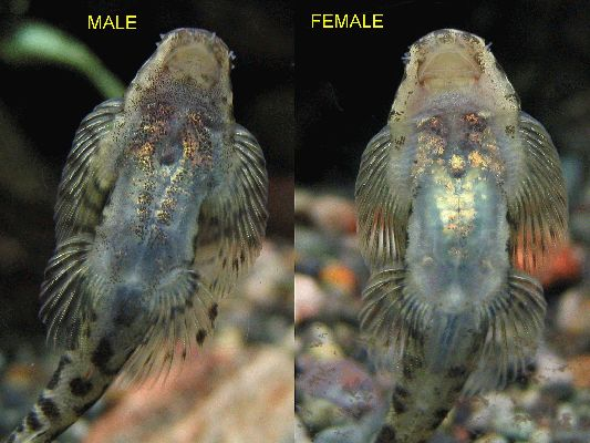 Sexing and Breeding Pseudogastromyzon cheni - Male and Female