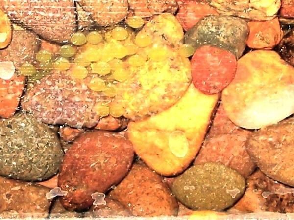 Sexing and Breeding Pseudogastromyzon cheni - Eggs buried in gravel