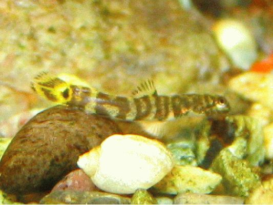 Sexing and Breeding Pseudogastromyzon cheni - 4mm long baby