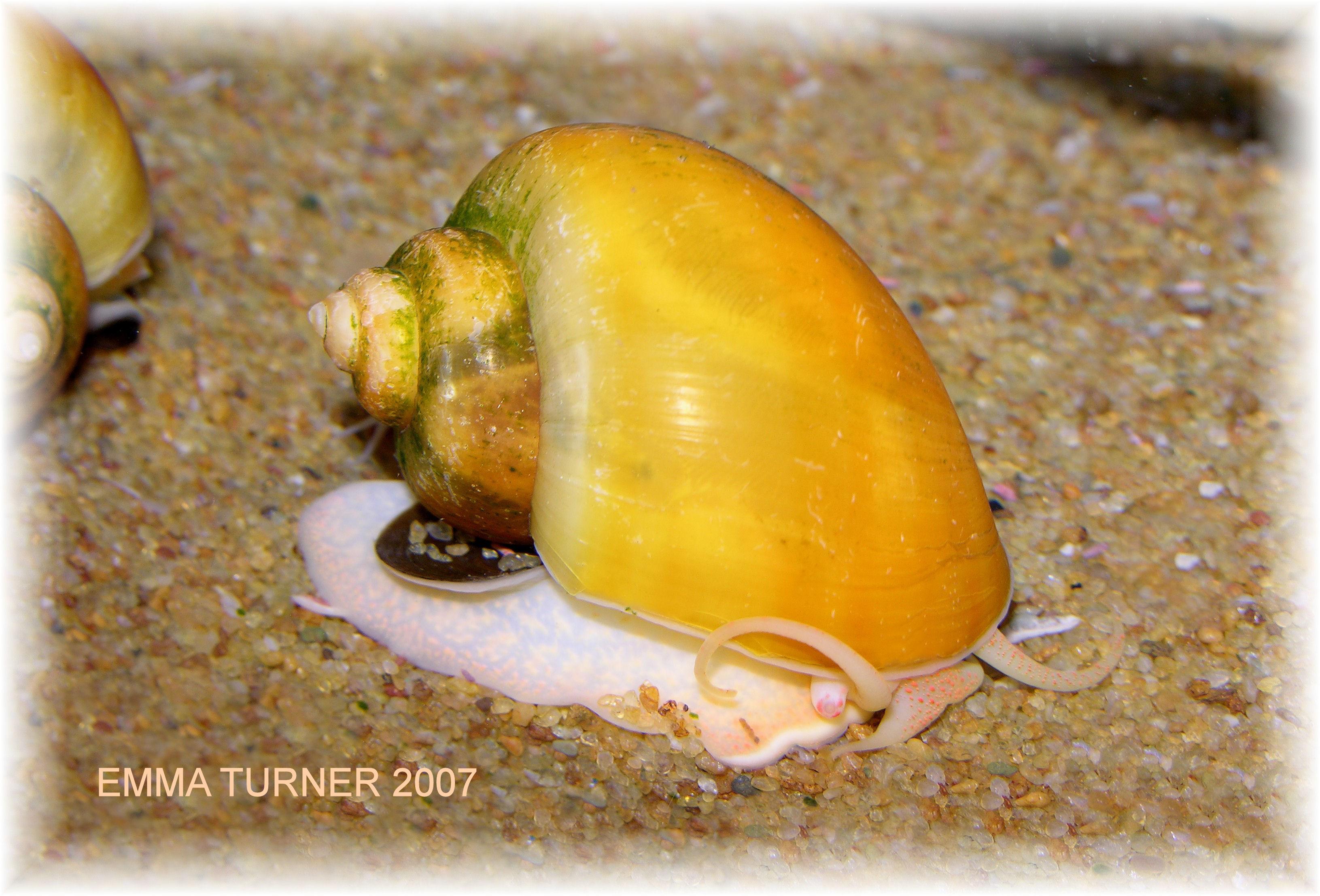 Golden Apple Snail Golden Apple Snail Loaches