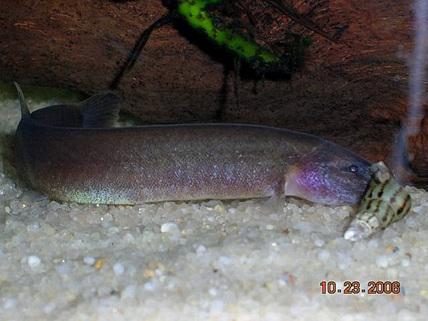 Kuhli Loach and Snail