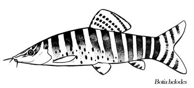 Telling Tigers Apart - The Syncrossus Genus