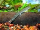 Aborichthys elongatus