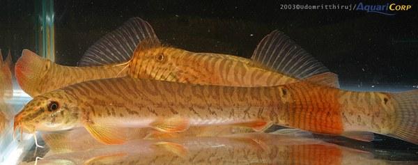 Acanthocobitis rubidipinnis