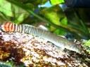 Aborichthys elongatus - Newly imported female
