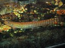 Aborichthys elongatus - Well Fed Female