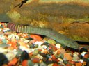 Aborichthys elongatus - Somewhat worse for wear male after fighting