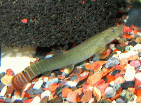 Aborichthys elongatus - Male digging hole in gravel (note red piece in mouth)