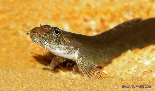 Aborichthys elongatus - Close-up