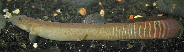 Aborichthys elongatus, male