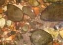 Acanthocobitis botia in nature. Reli River, West Bengal, India