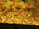 Acanthocobitis botia - Two babies