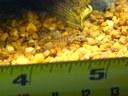 Acanthocobitis botia - Baby with measure